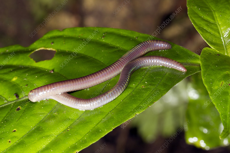 Arboreal earthworm