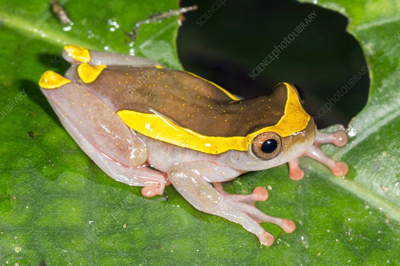 Upper Amazon Treefrog