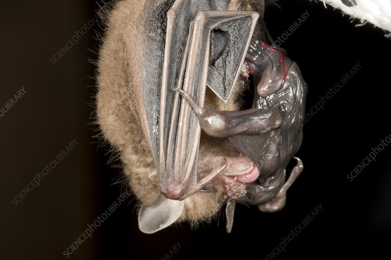 Yellow-shouldered Bat with baby