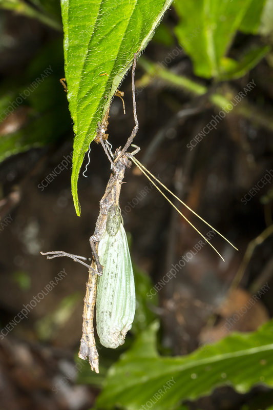 Stick insect ecdysis