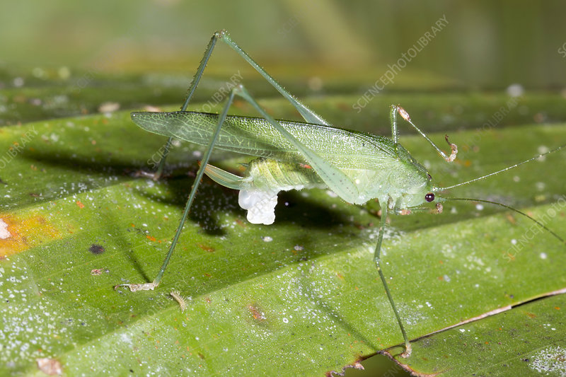 Female katydid with spermatophore
