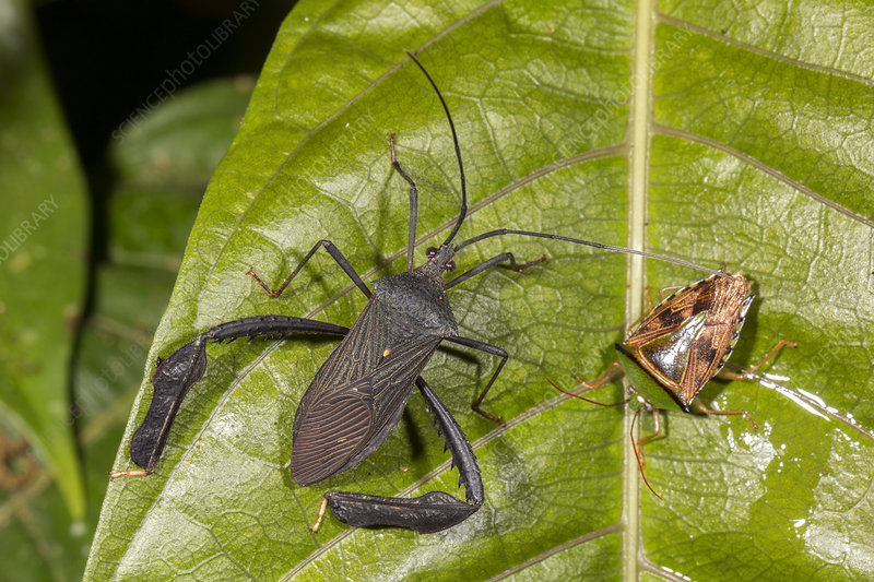 Two leaf-footed bugs