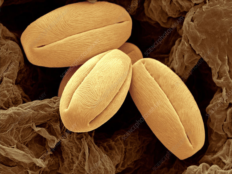 Pear Pollen Grains, SEM