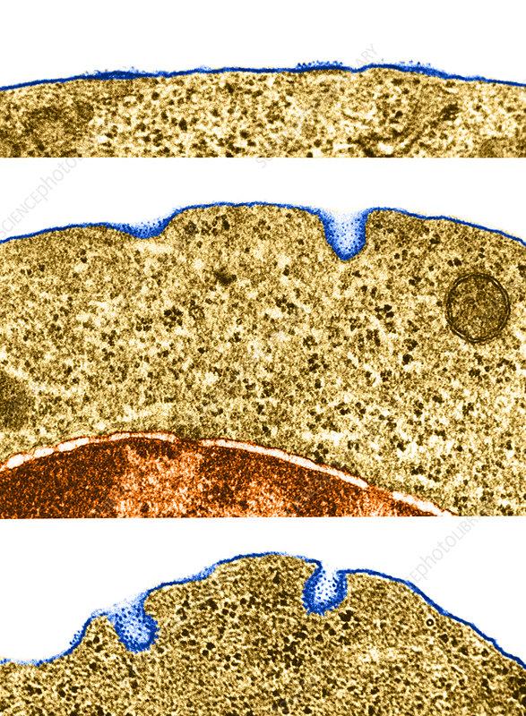 Micropinocytosis, TEM
