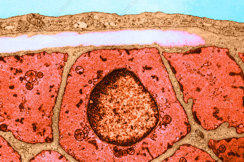 Smooth Muscle, TEM