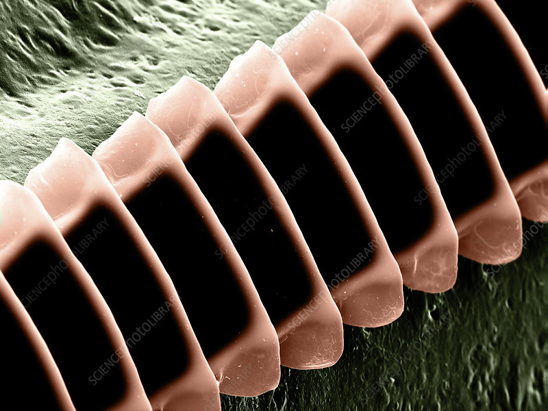 Cricket Sound Comb, SEM