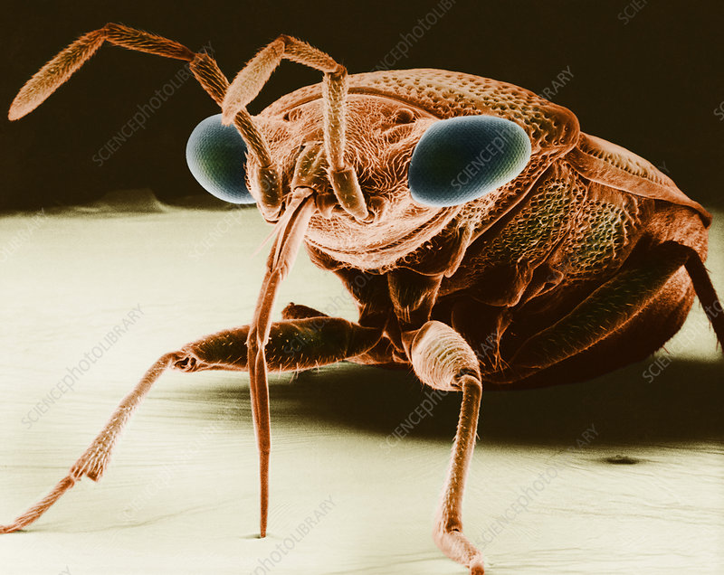 Big-eyed Bug, SEM