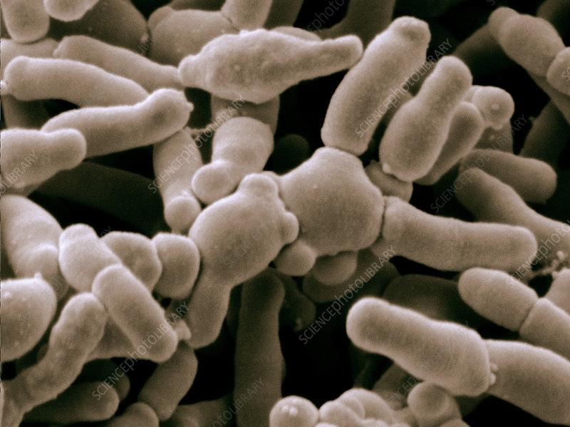 Bifidobacterium Breve Bacteria, SEM
