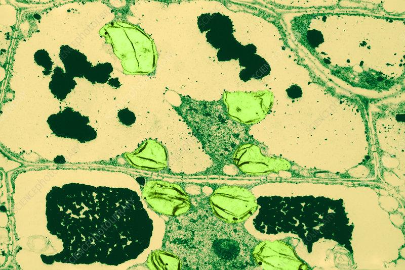 Water Fern Leaf, TEM