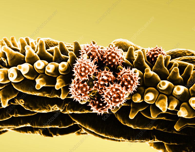 Daisy stigma with pollen (SEM)
