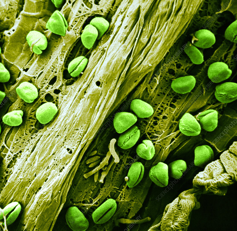 Anther with pollen, SEM