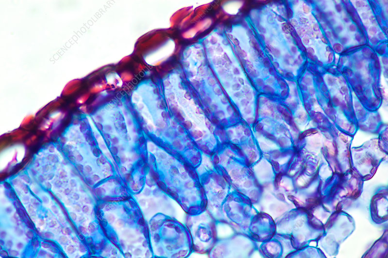 Section of a Rosemary Leaf