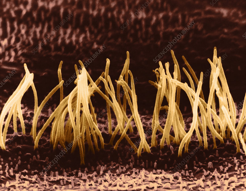 SEM of Cilia on Epithelial Cells
