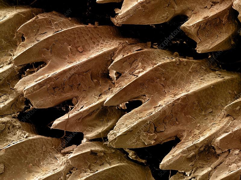 Great Hammerhead Shark Skin, SEM