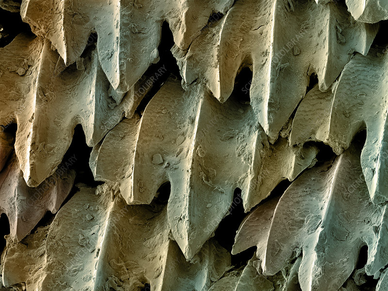 Great Hammerhead Shark Skin, SEM
