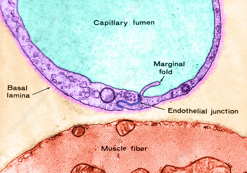 Muscle Capillary, LM