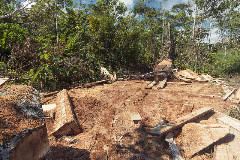 Rainforest tree cut for planks