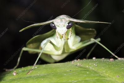 Tropical Shield Mantis