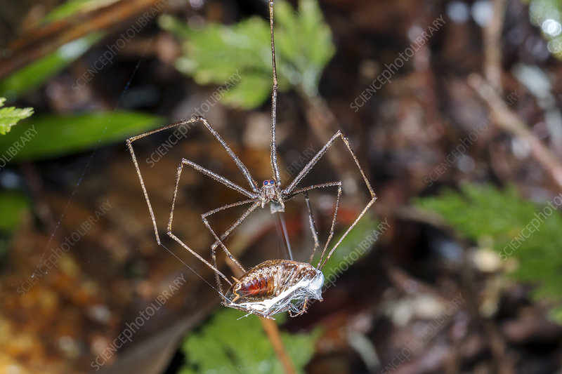 Ogre Faced Spider wrapping prey