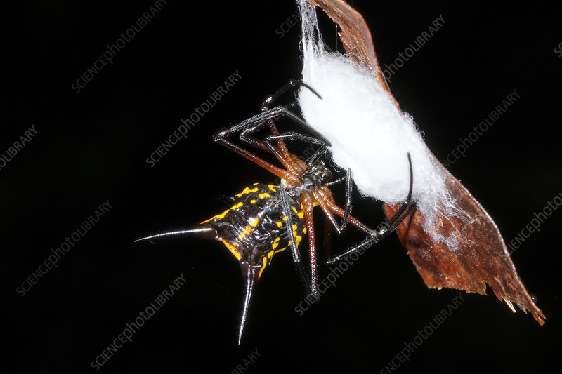 Spiny spider wrapping eggs in silk