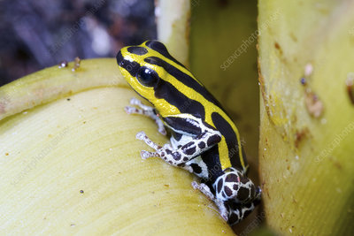 Variable poison frog