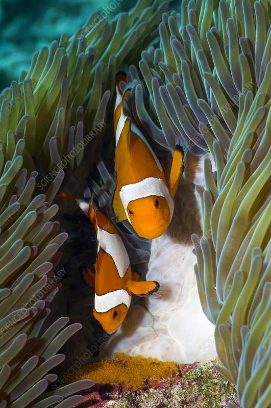 False clownfish spawning