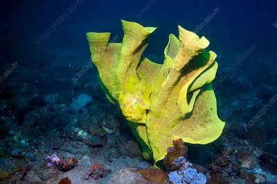 Frogfish camouflaged on sponge