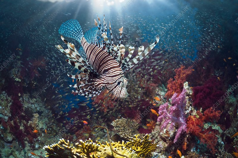 Lionfish and sweepers with soft coral