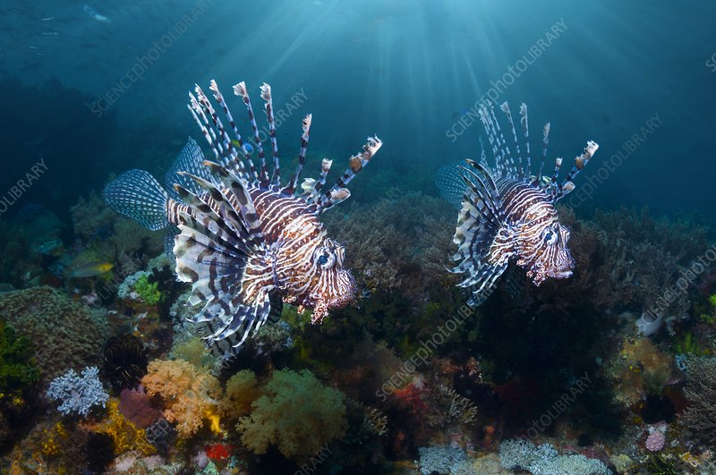 Red lionfish over a reef