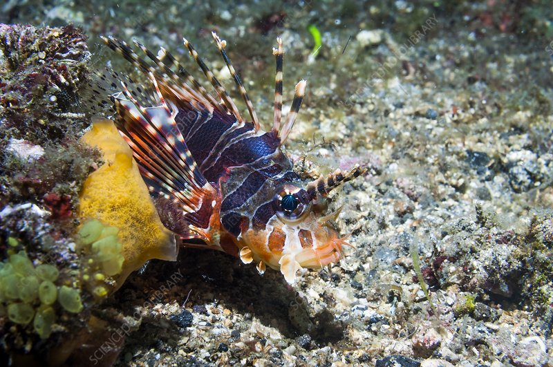 Zebra lionfish on a reef