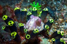 Blue-ringed octopus on sea squirts