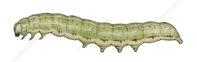 Dun bar caterpillar