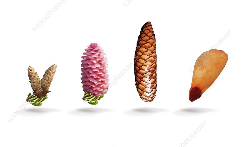 Norway spruce flowers, cones and seed