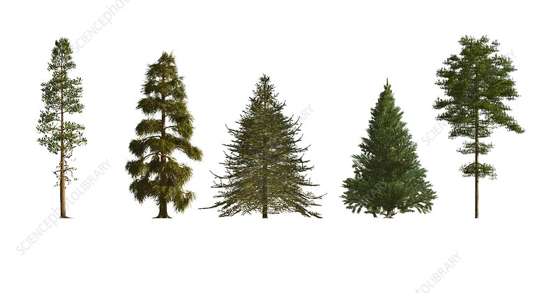 Softwood trees, illustration
