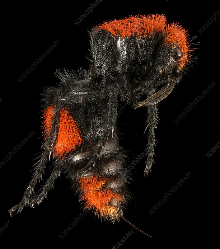Velvet ant, female