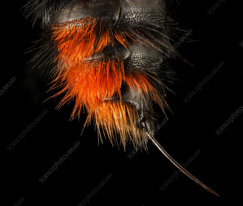 Velvet ant, female stinger