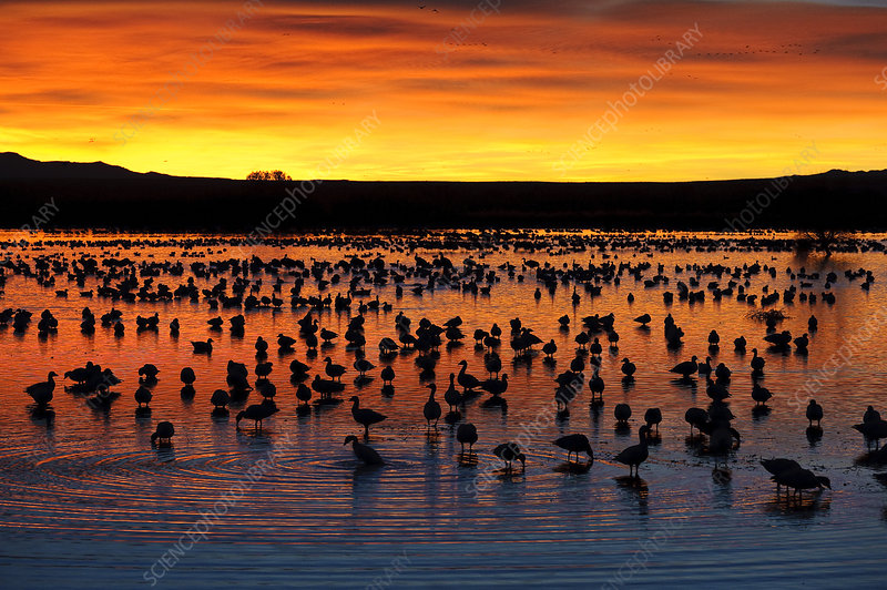 Snow Geese in Pond at Sunrise