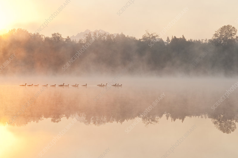 Geese in Sunrise and Fog, Lake Cassidy