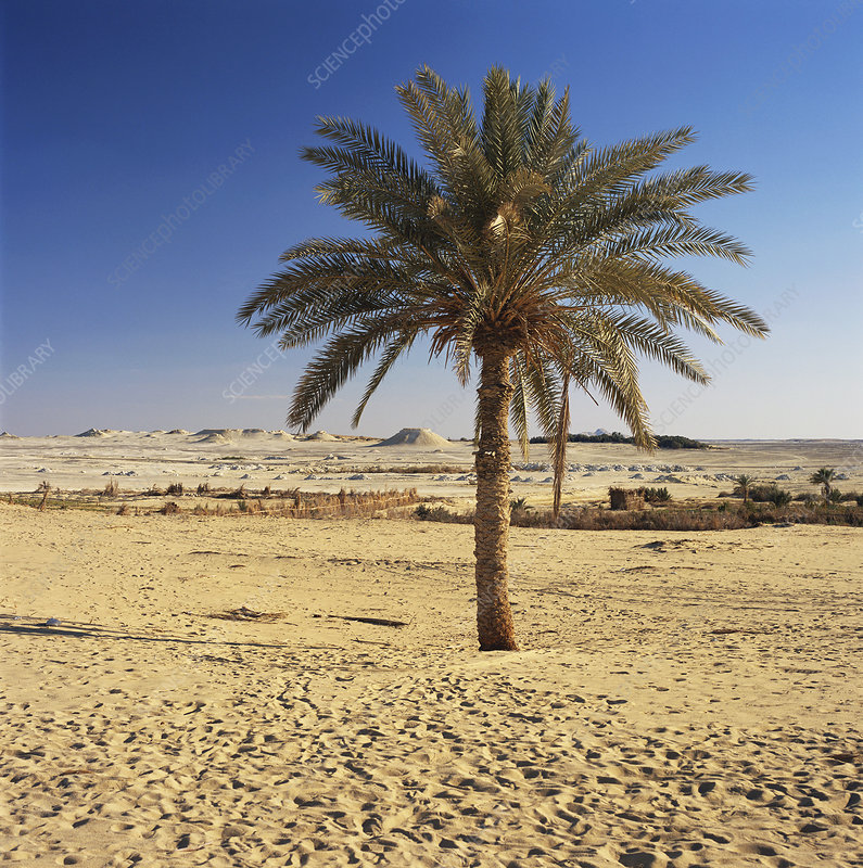 Palm Tree in Egypt