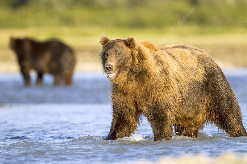 Brown bear standing in water, Alaska, USA