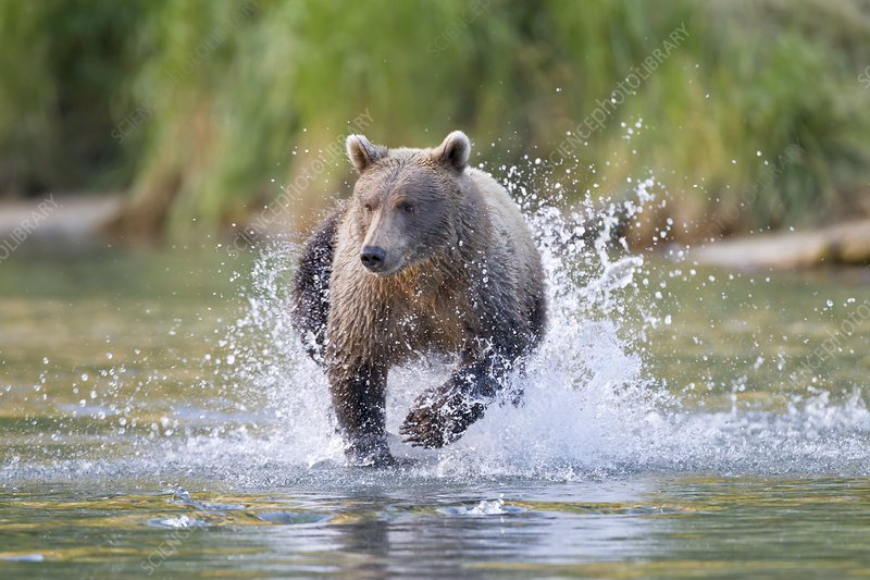 Brown bear running in water, Alaska, USA