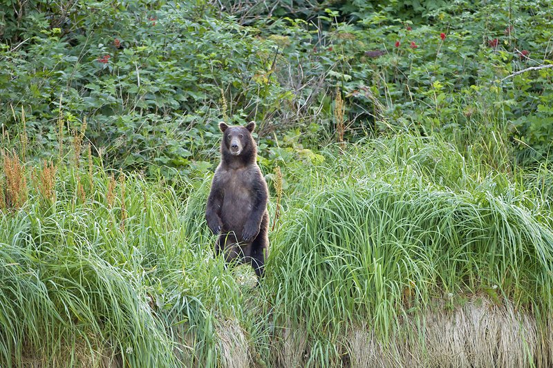 Brown bear standing in grass, Alaska, USA