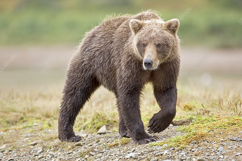 Brown bear, Alaska, USA