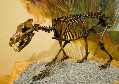 Dire Wolf Fossil