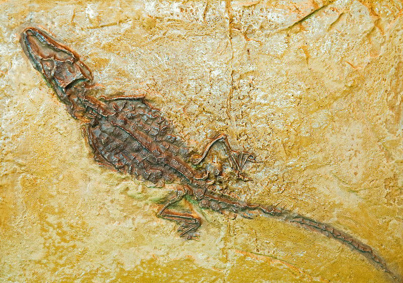 Alligator Fossil