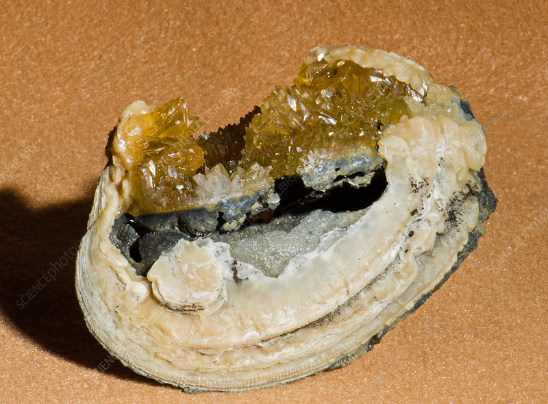 Fossil Clam with Calcite Crystals