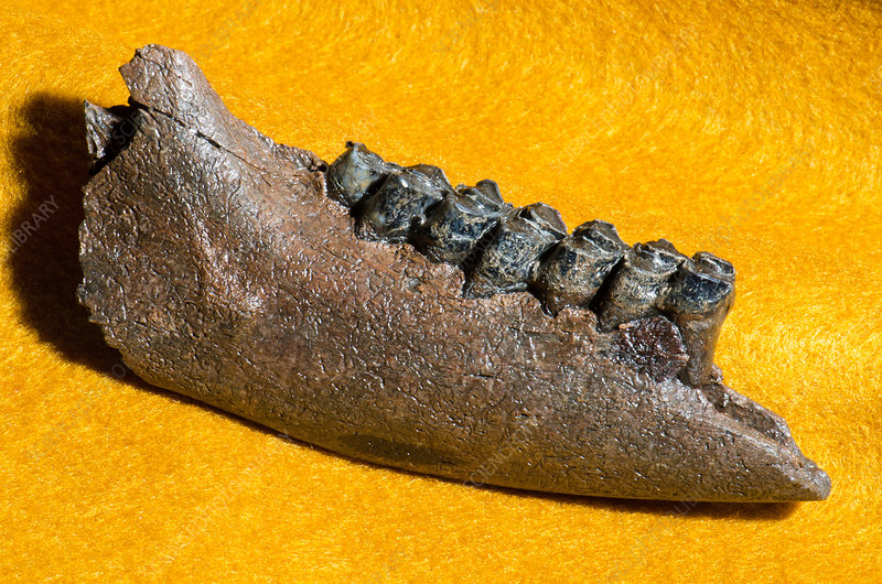 Deer Jaw and Teeth Fossil