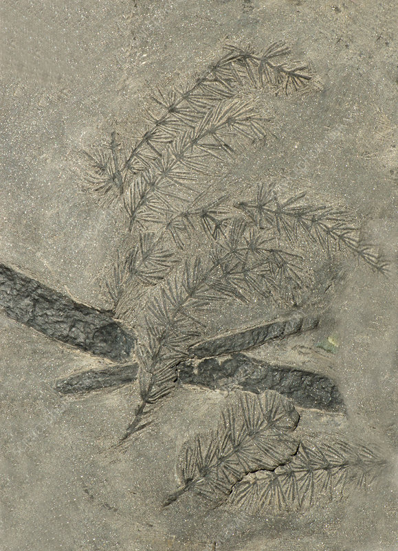 Annularia Plant Fossil