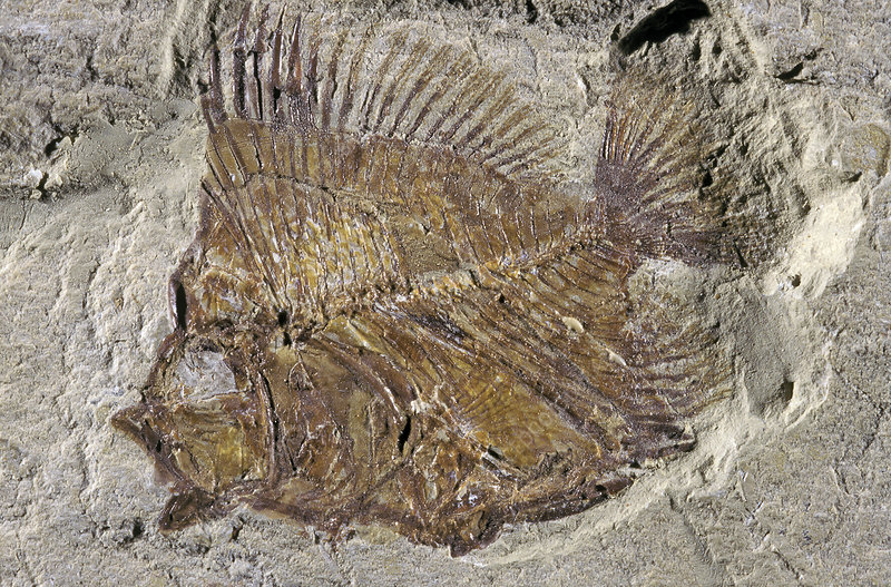 Fossil Deep-sea Fish