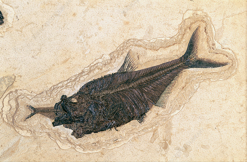 Fossil fish devouring another
